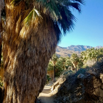 Giant palms in Indian canyons