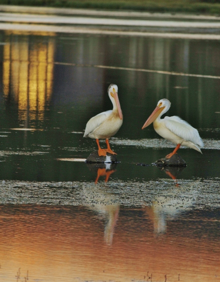 Great white pelicans often stop off at one of the smaller lakes